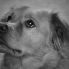 Golden Labrador by mompaq
