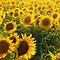 **Sunflowers** for **Gorgeous Flower Cards** Challenge