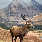 Glen Etive Stag by Phil Buckle