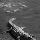 Crocodile Resting In The Sun by vrphotographysa
