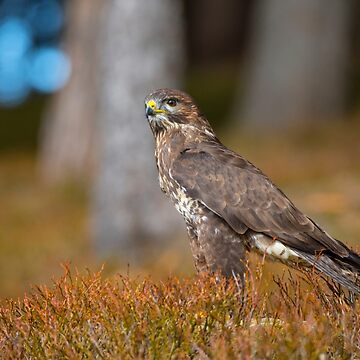 Common Buzzard by Femaleform