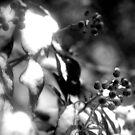Winter Berries by AbsintheFairy