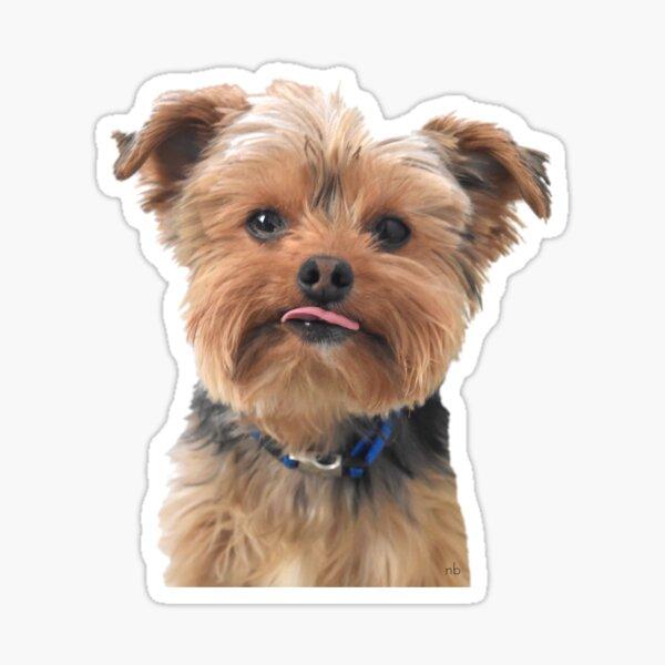 Yorkie sacando la lengua | Perros Pegatina