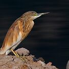 Squacco Poised by Martin Smart
