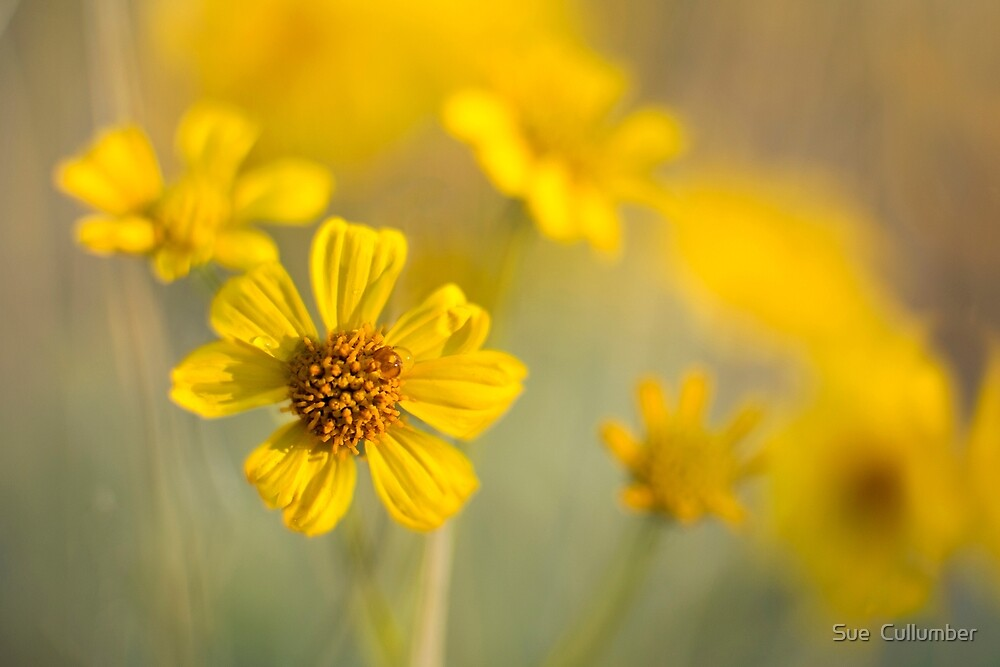 Pure Sunshine by Sue  Cullumber