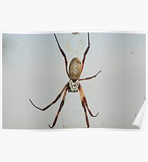 A female golden orb spider in its web (Nephila sp.) Poster