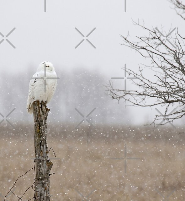 Winter Wonderland (video of this owl in description) by Heather King