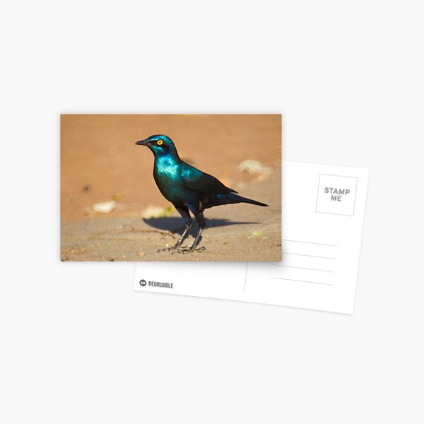 Greater Blue-eared Starling Postcard