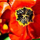 Poppy by David Tate