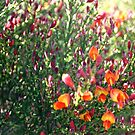 Gort na Coiribe Flowers - Galway  by emerson
