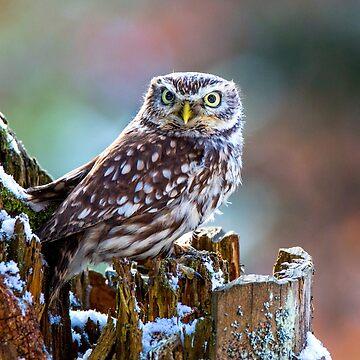 Little Owl by Femaleform