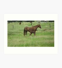 A Mare and her Foal in Rural Kempsey, N.S.W. Australia. Art Print