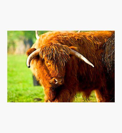 Highland Cattle #3 Photographic Print