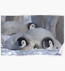 Emperor Penguin Chicks - Snow Hill Island Poster