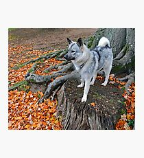 Elkhound In Autumn Photographic Print