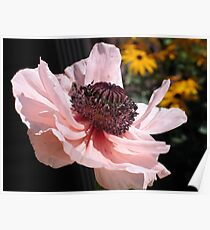 Light Pink Poppy Poster