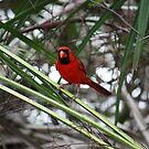 Northern Cardinal II by D R Moore