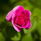 A Single Magenta Rose Amidst the Green by journeysincolor