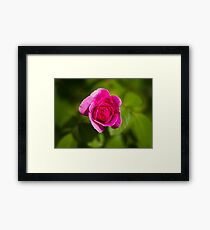 A Single Magenta Rose Amidst the Green Framed Print