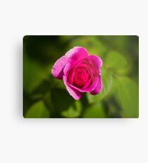 A Single Magenta Rose Amidst the Green Metal Print