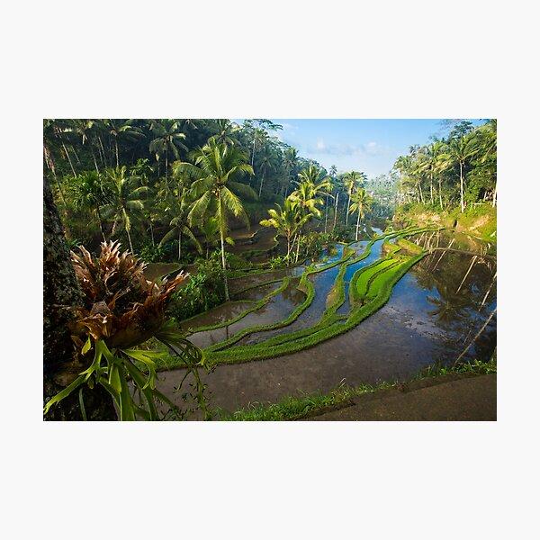 Bali Tegallalang Rice Terrace Ubud Photographic Print