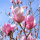 Tulip Tree by Steve Hunter