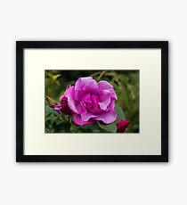 Purple Roses in a Garden Framed Print