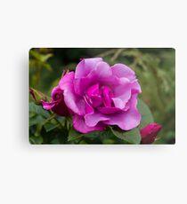 Purple Roses in a Garden Metal Print