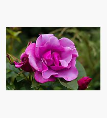 Purple Roses in a Garden Photographic Print
