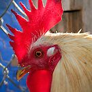San Quintin Rooster by Mark Ramstead