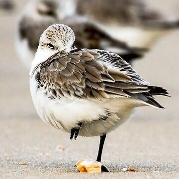 Sanderling by fparisi753