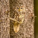 Perched Tawny Owl by Dave Hare