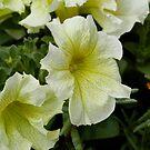 Pretty Petunias by Corkle