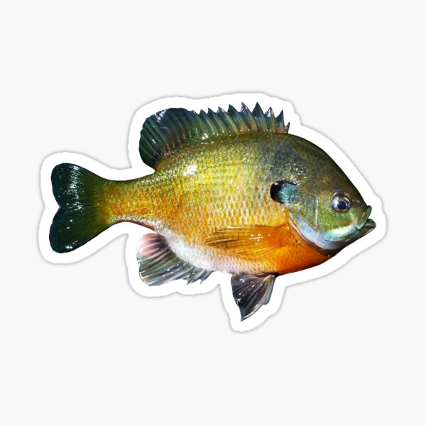 PUMPKINSEED SUNFISH PET FISH PAINTING AMERICAN FISHING ART REAL CANVAS PRINT