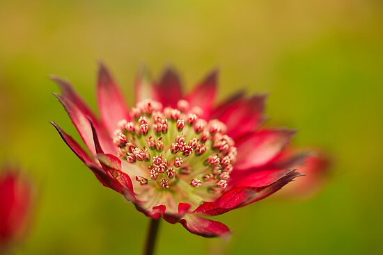 Astrantia  569  views by EUNAN SWEENEY