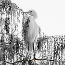 Tree Egret by CarolM