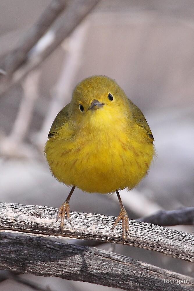 Yellow Warbler by tomryan