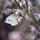 Dreamy Butterfly on Coral Heath by Cloudlingpics