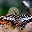 Butterfly Gossip by Pamela Hubbard
