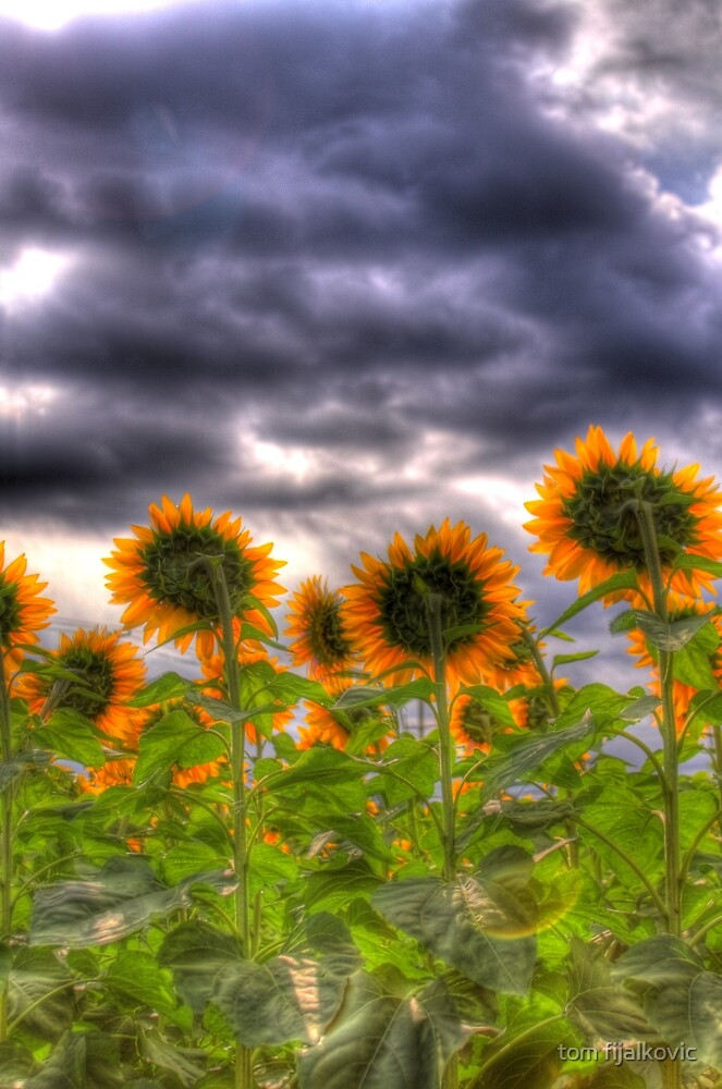 Maryland Sun Flowers by tom fijalkovic