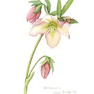 Helleborus sp. by Cheryl Hodges