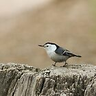 Nuthatch 1 by Lori Peters