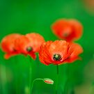 French  Poppies by EUNAN SWEENEY