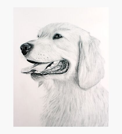 Golden Retreiver Photographic Print