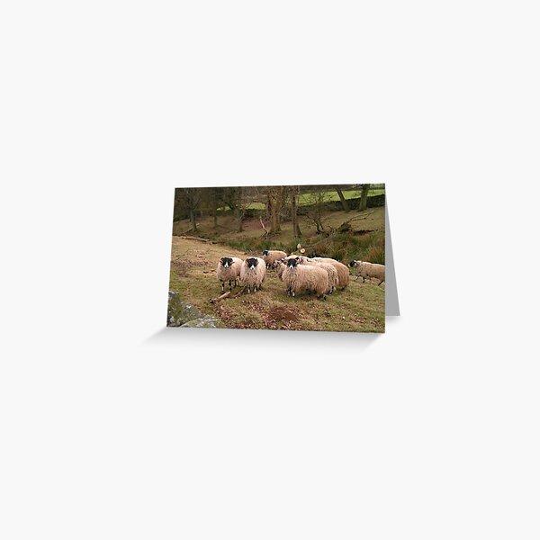 Swaledale Ewes Greeting Card