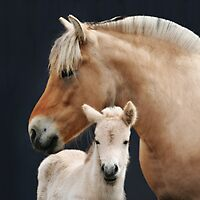 Fjord Mare with her Young Foal by livinginoz