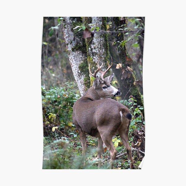 Blacktail buck... Poster