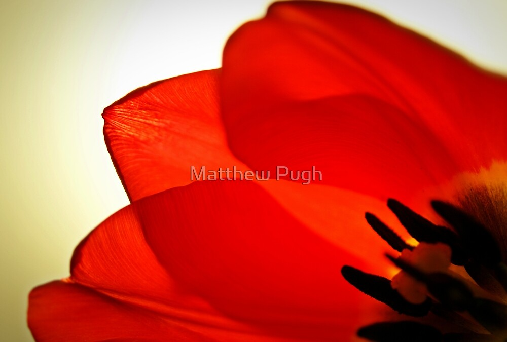 Tulip by Matthew Pugh