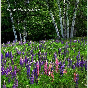 New Hampshire Poster Breathless Among lupines. by waynedking