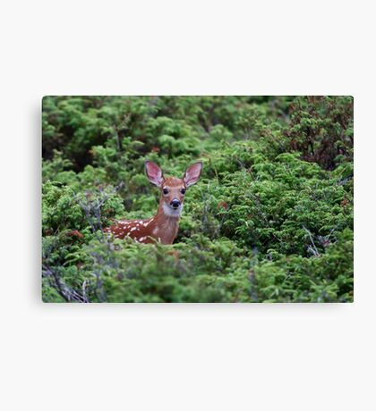 Fawn - White-tailed Deer Canvas Print